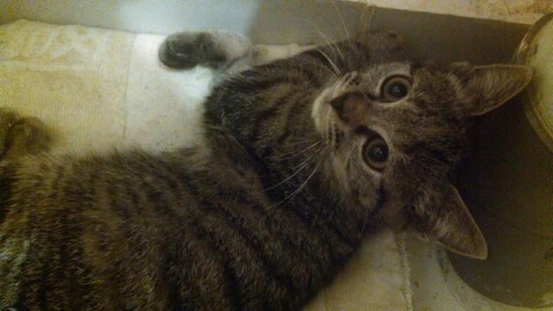 Lola est âgée de 3 mois à peine.Elle est calme, observatrice, et aura besoin idéalement d'un foyer dans lequel elle sera auprès d'un chat adulte doux pour la rassurer.