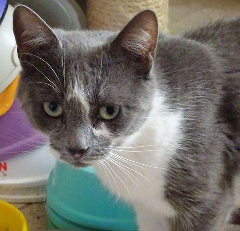 Lola est une gentille demoiselle féline, particulièrement attachante. Elle appréciera de vous accompagner dans votre quotidien, étant de nature également curieuse. Lola est gentille comme tout, mais elle sera heureuse dans un foyer sans autres chats. De nature calme et paisible, elle n'est pas joueuse, et appréciera avec bonheur votre compagnie, en toute tranquillité. Lola pourra également vivre dans un petit espace. Câline et aimante, elle attend un foyer pour la vie, sur Paris!