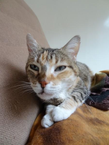 Lolita, 14ans, adore les câlins, ronronner, et est très affectueuse.Nous cherchons pour elle un foyer afin qu'elle puisse vivre une retraite dorée.