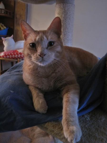 Ce très beau chat roux est d'une douceur incroyable. Très câlin et affectueux, il a été récupéré après le décès de sa protectrice.