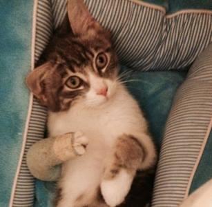 Ce petit chaton a été découvert sur un parking abandonné en décembre, en piteux état. Il avait une patte avant handicapé dont il ne pouvait plus se servir.Recueilli par une jeune femme, elle nous a alerté suite à un épanchement important apparu sur sa patte.Opéré en urgence, il est actuellement en convalescence