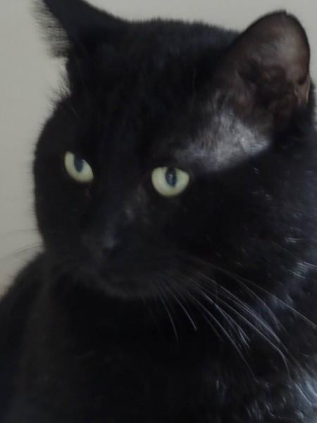 Afin de démarrer la semaine sous le signe de la bonne humeur, nous vous présentons: Mickaël! Cet élégant chat noir est un chat calme, très câlin et sociable. Il vient au devant de vous pour dire bonjour, se frotte à vos jambes tout en ronronnant, et vous regarde avec ses grands yeux curieux. Mickaël est un chat facile à vivre et qui sera de suite à l'aise au sein de son futur foyer. Il aime également parler! Vous ne pourrez que craquer devant ce chat plein de vie, tout en tendresse et présent. Chat de famille, petit amour sur pattes, Mickaël vous attend à l'adoption sur Paris!