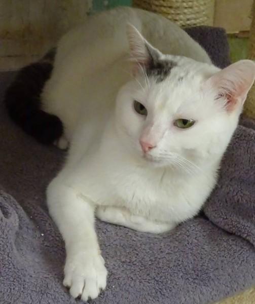 Mikado est un très gentil chat, particulièrement attachant, et très sociable. Il se plaira à vous suivre partout, et à participer à vos activités quotidiennes. Mikado adore discuter. Il aime mener une discussion, et sera heureux de vous raconter ses journées. Mikado est un chat aimant, d'appartement et de famille. Il apprécie également les chats, et aimera se blottir dans vos bras ou bien au creux de vos genoux. Venez le rencontrer sur Paris!