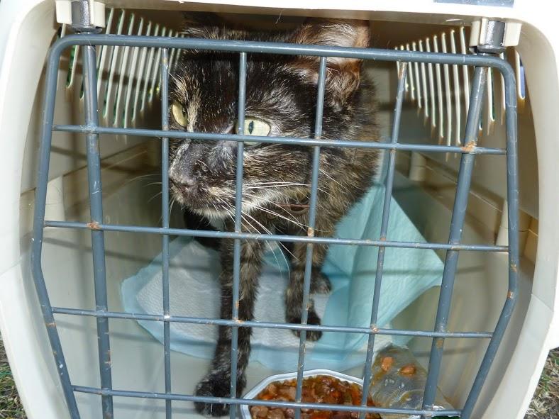 Minette:chatte écaille de tortue âgée d'une dizaine d'années, sortie de fourrière l'été dernier, très douce et câline.Affaiblie ,elle souffrait d'un cancer de l'estomac en phase terminale.Elle est partie entourée.