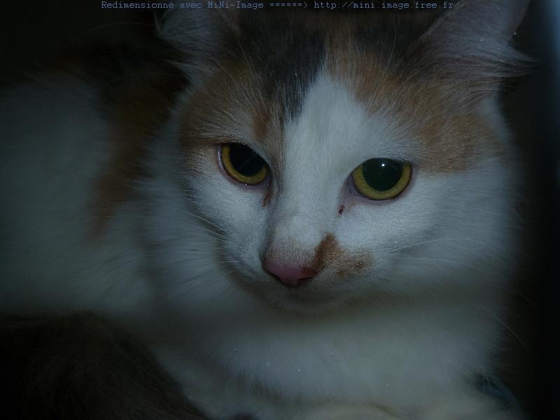 Mirabelle, âgée de 2ans, est une jolie tricolore diluée.Elle aime observer ses copains chats d'un oeil avisé.Très douce,elle est très câline.