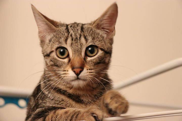 « Nous avons eu la chance de rencontrer l'association SAUVE qui nous a accompagné dans la recherche d'un petit chat pour rejoindre notre foyer. Dès les premiers échanges l'accueil et l'écoute ont été excellents, rassurants, sympathiques. Une semaine plus tard nous faisions la rencontre de Moji, petite chatte de 3 mois, sevrée, dans les locaux de l'association, conforme à la description qui nous en avait été faite, coquine et câline. Depuis nous sommes restés en contacts étroits avec l'association via Marie Claude, toujours prête à fournir conseils et bonnes pratiques. Moji a trouvé sa place dans notre famille et nous en sommes réellement enchantés. Que du bonheur ! »