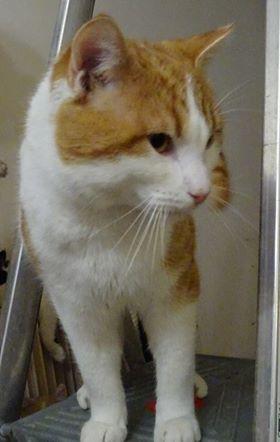 Moko est âgé d'environ 10 mois. C'est un chat très gentil, particulièrement câlin et joueur.