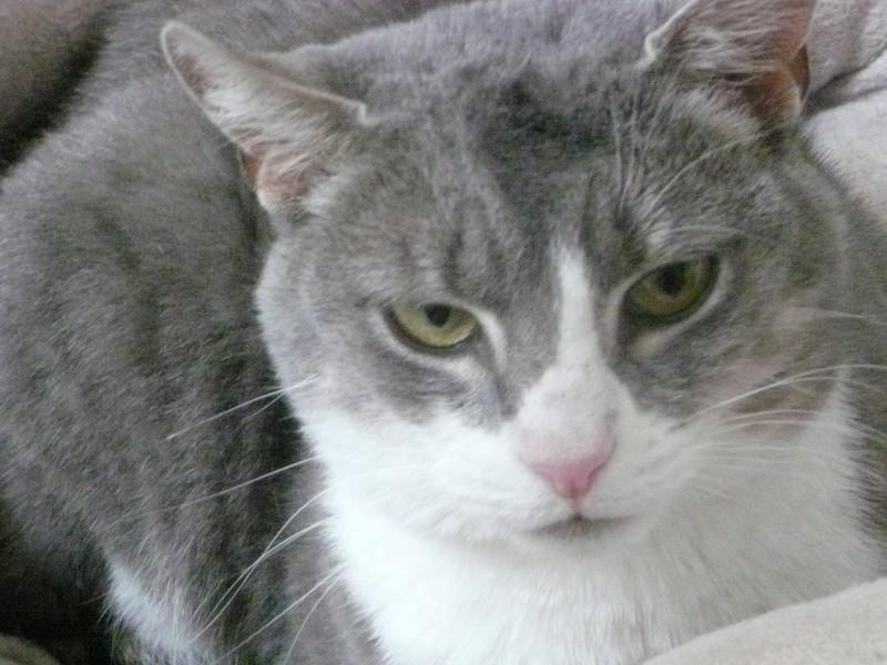 Mona est âgée de 5 ans.C'est une chatte grise et blanche adorable, sociable et extrêmement câline. Elle a grand besoin d'avoir enfin sa famille et que quelqu'un pose un regard sur elle.Une véritable seconde chance.Mona est tristoune.A chaque fois qu'une bénévole vient ou qu'un adoptant vient adopter un chat, elle attend, elle patiente et accourt pour les câlins.Et suit tout le monde jusqu'à la porte en espérant repartir. Mais à ce jour, son tour n'est pas encore arrivé ... elle attend, espère puis se résigne jusqu'à la prochaine visite.C'est une chatte qui apportera tellemen,t de choses, elle a beaucoup d'amour à donner et rêve de partir vers sa nouvelle vie !