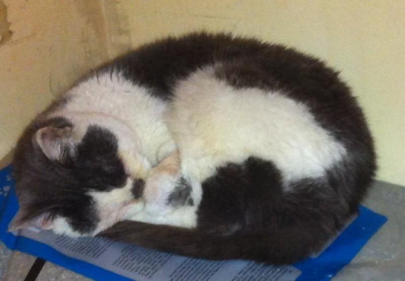 Moustique est une élégante mamie chat d'une dizaine d'années. Angora noire et blanche, elle est sortie de fourrière récemment. Très maigre et déshydratée à sa sortie, elle a été hospitalisée en urgence. A présent, elle se repose d'un sommeil bien mérité.