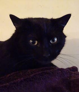 Nikki est âgé d'environ 1 an et demi. C'est un chat calme, câlin et observateur.