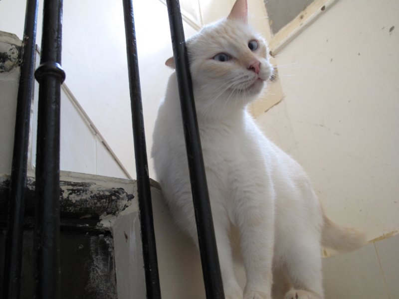 C'est un sublime siamois blanc qui adore faire le pitre. C'est le plus beau chat de l'association et il le sait !