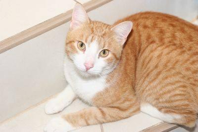 Paco est très sociable et en demande de câlins.A l'aise, habitué à une vie en appartement il est le chat de famille idéal !