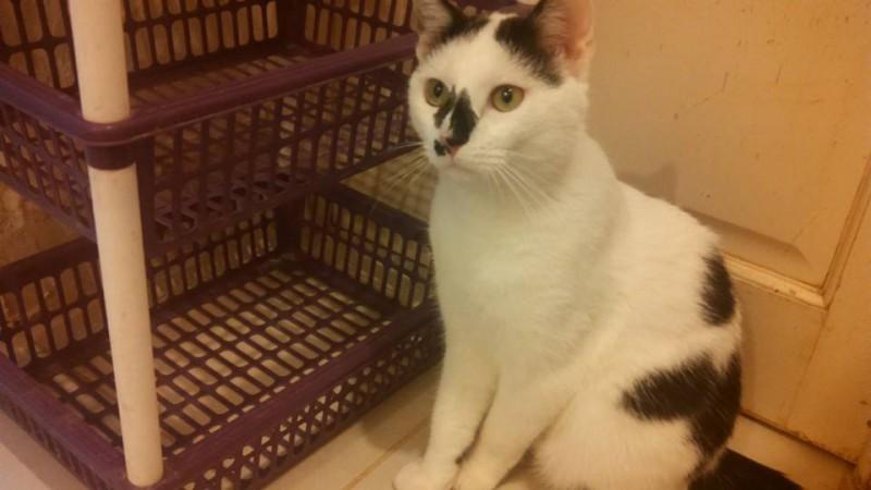 Pepper est âgé d'un an. Curieux, présent , sociable et à l'aise, il vous attend ! Il adore montrer son ventre et ronronne de bonheur sous les caresses. Un chat craquant, aux couleurs originales.