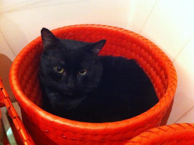 Phoenix a été trouvé abandonné dans une cour avec un autre chat (Yuki/Noire et blanche, adoptée depuis). il se laisse caresser sans problème, commence à ronronner tout doucement,  et aime encore se cacher. Il adorait  les caresses partout sur/sous la tete, le cou. Calme et discret, c'était un chat tranquille et aimant.