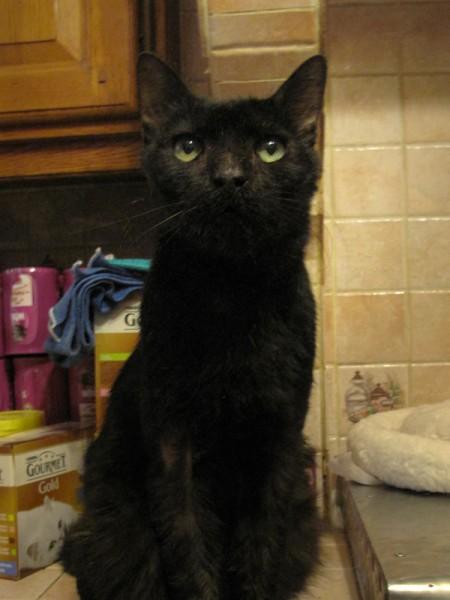Vieux matou noir, Post-it est très curieux et vif malgré son cancer de la mâchoire. Cet adorable chat aime les câlins, ronronne tout le temps et grimpe parfois sur les épaules de sa bénévole préférée !