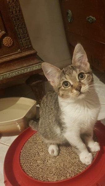 Prâline est une adorable chatonne, espiègle et très joueuse. Câline, elle s'entend également très bien avec les autres chats.