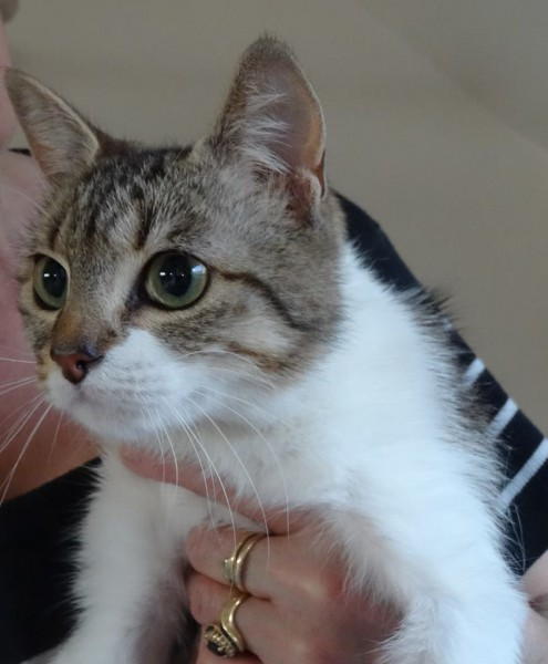 Prune est une adorable chatonne âgée de 6 mois. Douce, câline et pleine de tendresse, elle attend à présent qu'une famille calme et plein d'amour l'adopte. Afin de lui offrir une belle et heureuse vie !