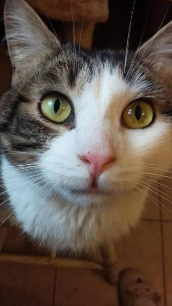 De grands yeux ouverts sur le monde, petit chat curieux et boule d'amour: voici Raphael. Il aura besoin d'un environnement calme. Ce très gentil chat aimera vous suivre partout. Il est à l'adoption sur Paris.