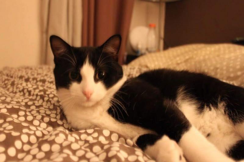 Nino est un chat très calme et très gourmand qui cherche la compagnie des humains, qui eux aiment caresser son doux pelage, il aime aussi beaucoup se regarder dans les miroirs! Ce gentil chat, à peine âgé d'un an attend avec impatience sa famille pour la vie!
