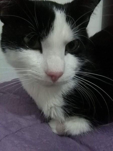 Flam était un jeune adulte. Nous l'avions récupéré suite à un probable abandon. Flam était un très gentil chat, discret, affectueux et présent. Malheureusement, il a développé une maladie fulgurante. Et malgré les soins, il a été emporté quelques semaines après. Nous n'oublierons jamais Flam, et son si doux regard.