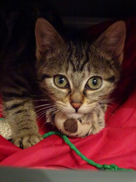 Gaby est une toute jeune chatonne, qui a été trouvée dans la rue. Un brin timide au départ et surtout, adoptée depuis, Gaby prend peu à peu ses marques au sein de son nouveau foyer.