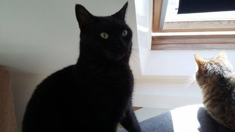 Réglisse est un jeune adulte de 2-3 ans. Séducteur, calme et discret, il est sociable et habitué à vivre en appartement. Il vient au devant des câlins, et dévale l'escalier pour venir vous saluer. Un chat tout en douceur, qui adore les câlins ! Il a également de très beaux yeux verts en amande ..... un regard intense et irrésistible. Le beau Réglisse est à l'adoption sur Paris.