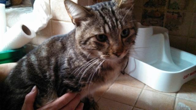 Charly est âgé de 6 ans, ce timide brun tabby a vécu de douloureux moments. Hospitalisé en urgence à sa sortie de fourrière il a encore peur mais se détend et se laisse attraper et caresser. Charly est un chat sociable et tendre, qui aura juste besoin de comprendre qu'à présent il est à l'abri et qu'il ne risque plus rien.