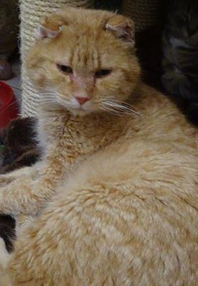 Tabby rouxest âgé de 9 ans. Ce très beau chat roux aimerait bien être adopté. Il vient volontiers vous saluer, fait des câlins, et il est particulièrement facile à vivre. Tabby roux aime bien également discuter. Joueur à ses heures, il galope derrière ses petites balles, s'amusant comme un grand chaton qu'il est resté.