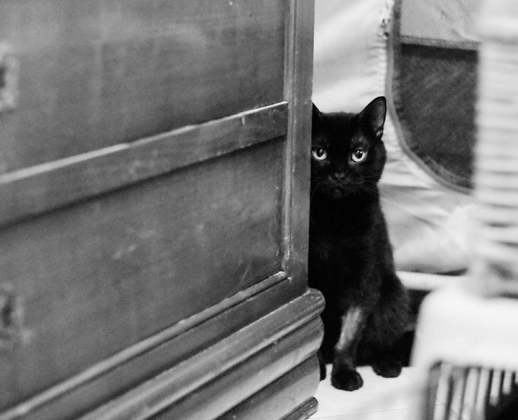 Saphir est un très gentil chat, avec un  passé dofficile en fourrière.Il a besoin d'espace car il est dynamique et bouge beaucoup.De nature curieuse; sa queue légèrement recourbée fait tout son charme. Nous cherchons pour lui une famille habituée des chats, attentionnée,qui lui offrira un environnement calme.