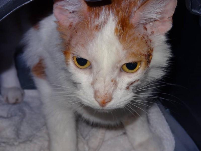 Saxo est arrivé dans cet état .... Il a erré un long moment dehors, n'a pas bénéficié de soins et a du subir un quotidien empli de peur et de stress. Arrivé maigre et affamé, il profite enfin d'un repos bien mérité en famille d'accueil. Saxo est un très gentil chat, doux et câlin. Ses blessures sont heureusement soignables et avec le temps, beaucoup de soins et de repos, ses poils repousseront. Encore fragile, nous prenons bien soin de lui.