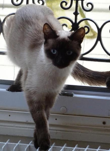 Une jolie minette siamoise, jeune adulte, sociable et câline, vous attend à l'adoption sur Paris. Idéalement, elle sera à placer sans autre chat.