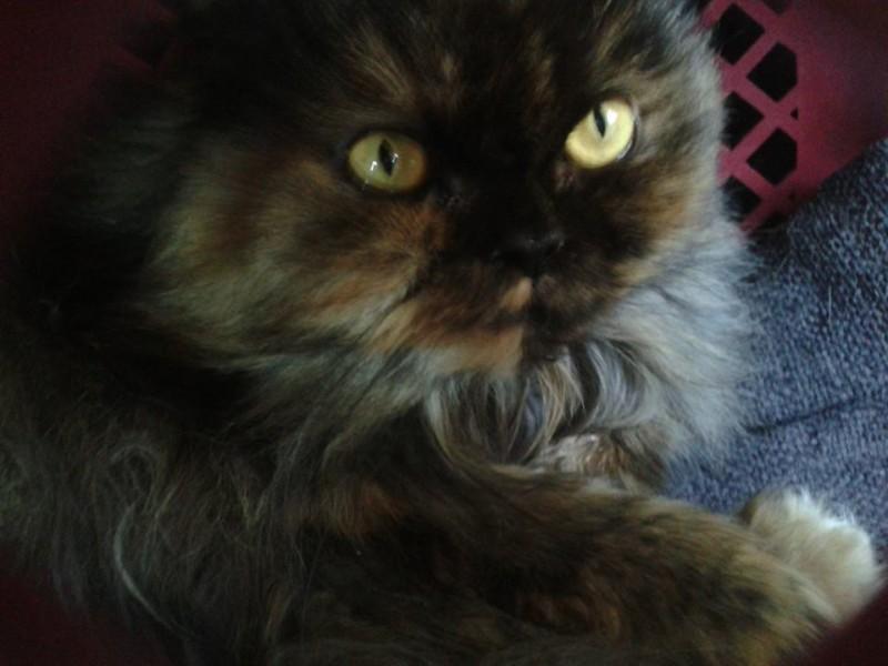 Sissi est une chatte très câline, douce et heureuse auprès de sa famille d'adoption.