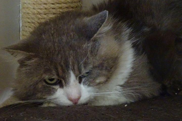 Smocky était âgé d'une dizaine d'années. Trouvé errant et affamé dans un parking souterrain, il avait été pris en charge il y a presque deux ans. Souffrant d'une grave pathologie cardiaque, ainsi que d'un souci sanguin, Smocky s'est vaillement battu contre la maladie. Malgré tous les soins prodigués, il n'a pas pu être sauvé...C'était un chat craintif, très discret, qui gardait une méfiance face à l'homme. Mais il appréciait ses copains chats, et la chaleur de sa maison. Il aura pu profiter d'une vie paisible depuis son arrivée chez nous, jusqu'à son dernier souffle.