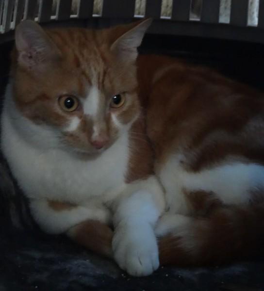Sony est un chat roux et blanc tout en élégance. Très gentil chat, câlin et sociable, il attend avec une réelle impatience sa famille d'adoption