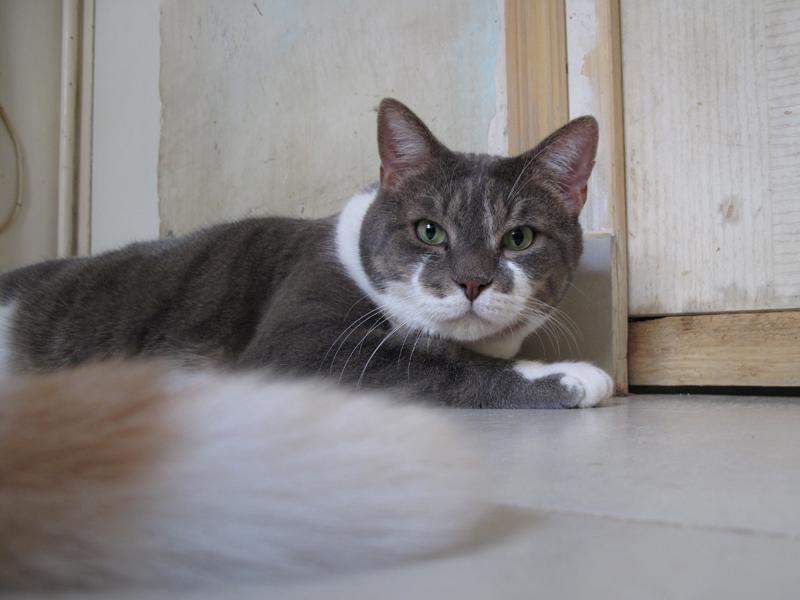 Sushi est arrivé il y a 12 ans d'une autre association qui devait l'euthanasier. Il a été heurté par une voiture avant d'avoir été abandonné. Il en a gardé des séquelles dont une patte qui traine un peu. Devenu la mascotte de l'association, il trouvait toujours une bénévole pour aller le promener dans son parc préféré. Où il en était la vedette! Avec l'âge, Sushi apprécie à présent le calme et la chaleur de la maison. Un grand chat, au coeur tendre.