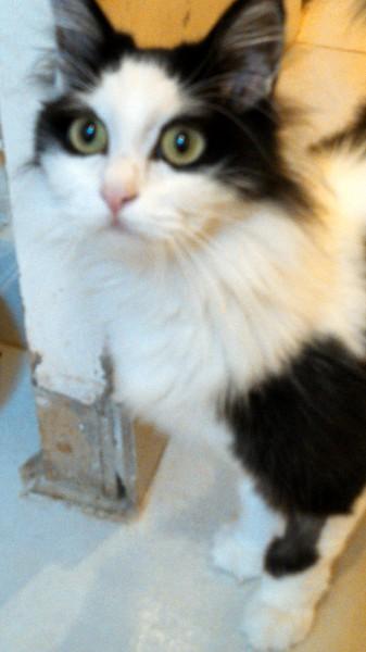 Sybelle n'a même pas 1an, elle est très belle c'est certain. Chatte angora noire et blanche, elle est très câline, calme et sociable.