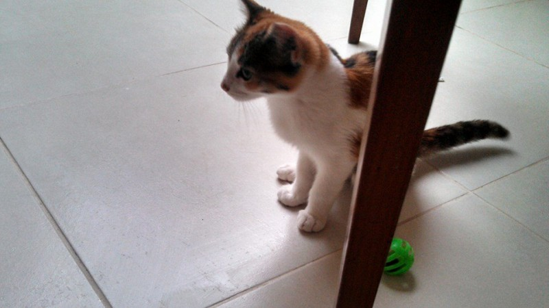 Taly est une petite tricolore âgée de 3 mois. Observatrice elle aime découvrir le monde tout en douceur. Câline, calme , elle adore les souris à grelots. Taly attend avec impatience sa famille