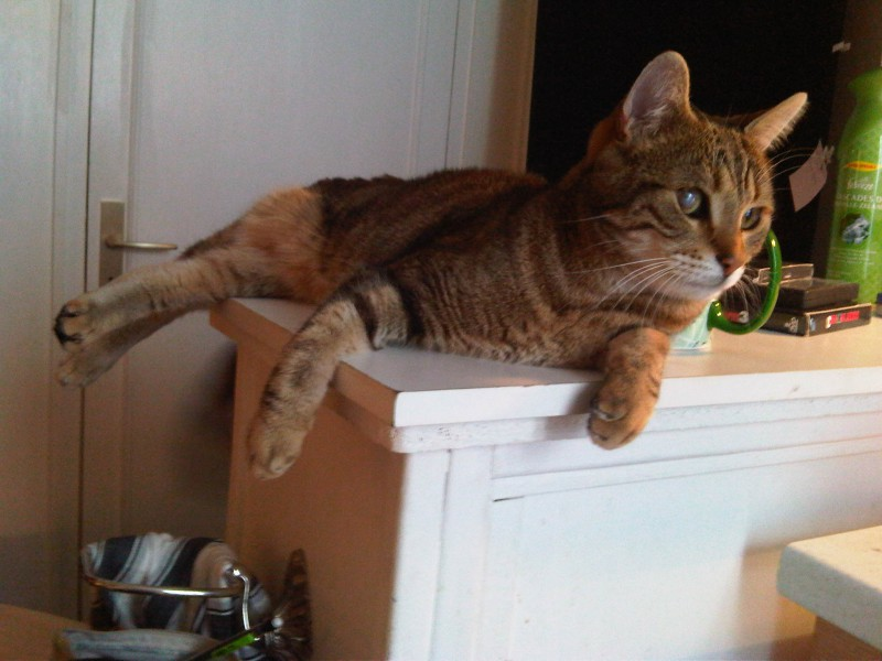 Tigrou, chat câlin, a trouvé une famille aimante où il s'épanouit pleinement.