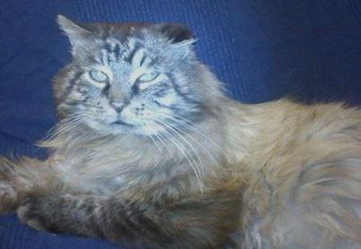 Tigrou est un sacré de Birmanie. Il est beau, gentil, doux, câlin, calme. Les chats sacré de Birmanie sont sensibles, ont besoin de présence, de stabilité. De ce fait Tigrou aura besoin rapidement de son propre foyer, définitif, où il prendra ses repères. Il est Fiv+, ce qui ne l'empêche en rien d'être en pleine forme et de vivre une vie de chat tout à fait normale !