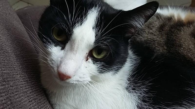 Tilou est un jeune adulte calme et paisible. Il vous regarde avec des grands yeux curieux, et ferme doucement les yeux sous les caresses. Un peu timide au départ, il saura avec un peu de patience être à l'aise chez vous.