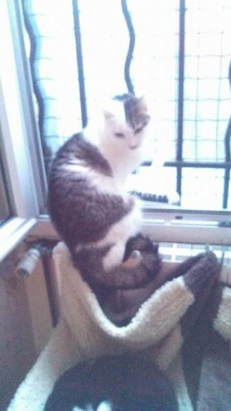 Toc Toc a du avoir un passé difficile. Il n'accepte pas qu'on le touche et s'échappe à la moindre tentative d'approche.Seule sa bienfaitrice peut s'en occuper. Il aime regarder par la fenêtre et s'étirer au soleil dans la cour avec les autres. Un gentil chat qui observe son petit monde d'un regard doux.