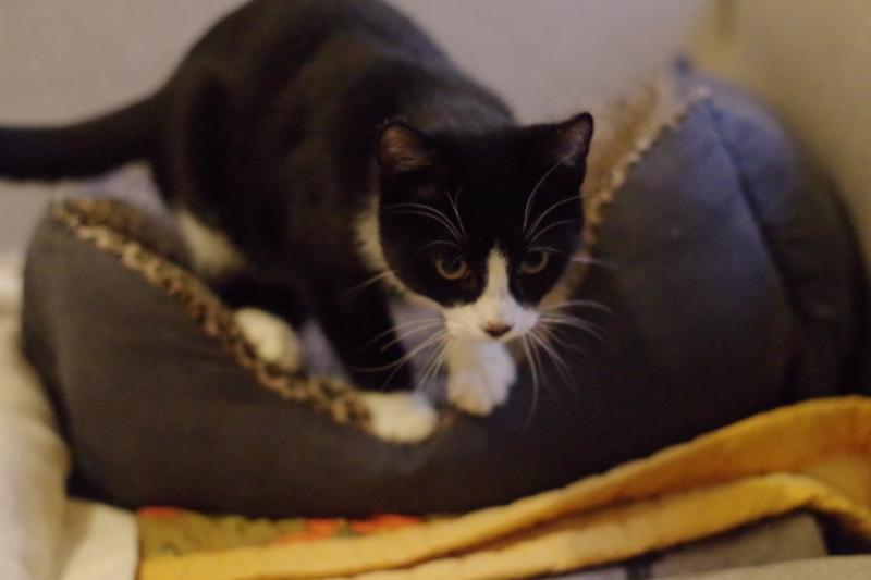 Truffe est un superbe petit chaton, très câlin, très curieux et très gourmand !