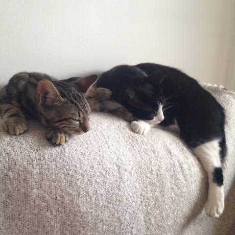 Adopté chaton, Tyrion a trouvé un frère chat protecteur auprès duquel il continue de grandir. Adopté cet été, petit Tyrion devenu grand est un chat heureux, câlin et présent. Belle vie à toi ainsi qu'à ta famille Tyrion!