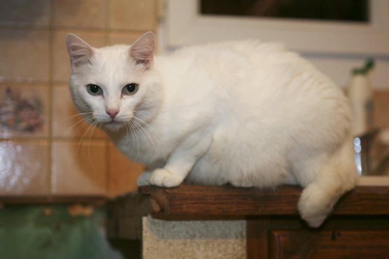 Uyulu a été abandonné. C'est un chat pot de colle, qui a besoin de beaucoup d'attention et de câlins. Il aime se blottir dans vos bras, en posant ses deux pattes autour de votre cou. Uyulu ronronne très fort, et aime