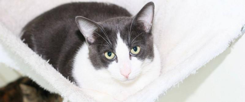 Willy est un jeune adulte gris et blanc,d'environ deux ans, habitué à une vie en appartement, curieux et sociable. Il aura cependant besoin d'un foyer aimant et patient, car il lui faudra un peu de temps pour découvrir son nouvel environnement et être à l'aise.
