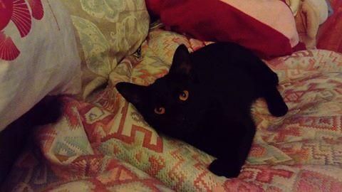 Yoko est âgée de quelques mois. Cette jolie panthère noire au regard pénétrant saura vous charmer. Câline, présente, sociable, et habituée à vivre en appartement: elle deviendra rapidement LE membre à part entière de votre famille!